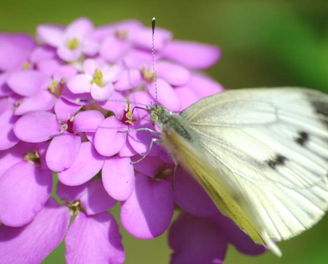 A close up of a large white butterfly on a flower Pieris brassicae