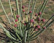 A photo of Euphorbia dregeana