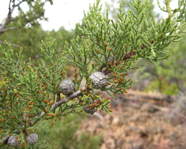 A close up of some green Cupressus leaves and brown cones
