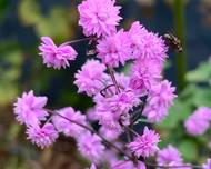 A photo of Thalictrum 'Hewitt's Double'