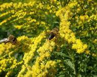 A photo of Golden rod