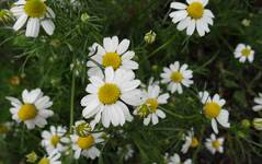 A photo of Chamomile