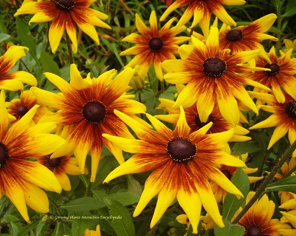 A picture of a Coneflower 'Rustic Dwarfs'