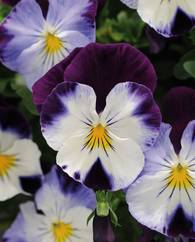 A photo of Pansy Cool Wave