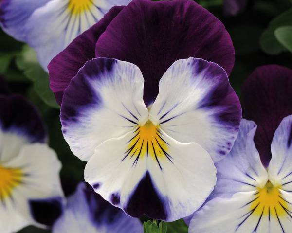 A picture of a Pansy Cool Wave