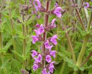 A photo of Meadow sage