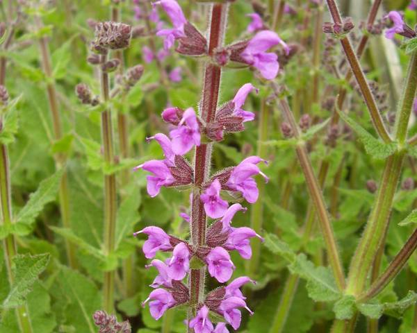 A picture of a Meadow sage