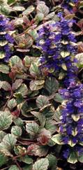 A photo of Ajuga 'Burgundy Glow'