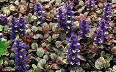 A photo of Ajuga reptans 'Burgundy Glow'
