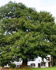 A photo of English Oak