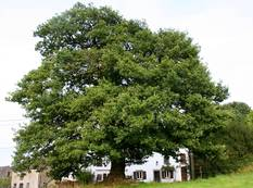 A Quercus robur tree in front of a house