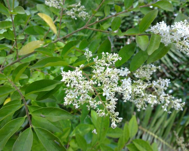 A Ligustrum sinense shrub with green leaves and white flowers