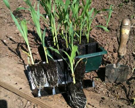 A close up of sweet corn plants and a trowel