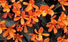 A photo of Begonia 'Glowing Embers'