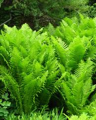 A photo of Ostrich Fern