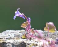 A photo of Ivy Leaved Toadflax