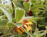 A photo of Twinberry Honeysuckle