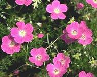 A photo of Carpet Geranium
