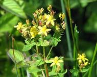 A photo of Square Stalked St. John's Wort