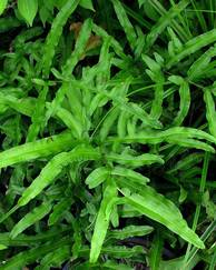 A photo of Pteris