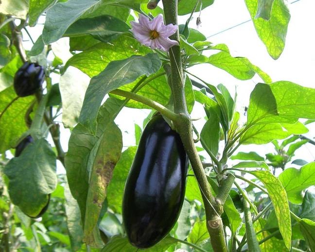 A close up of an aubergine Solanum melongena fruit on a plant