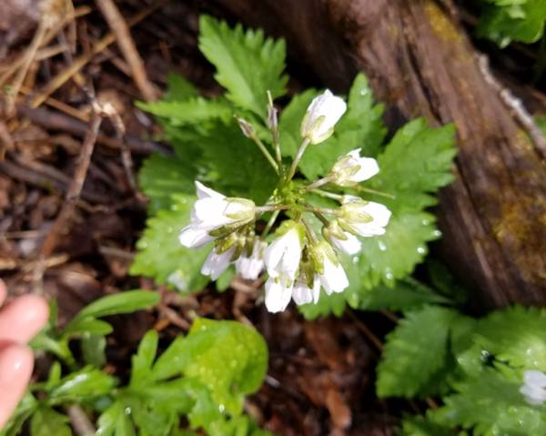 A picture of a Cardamine maxima