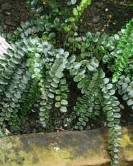 A photo of Button Fern