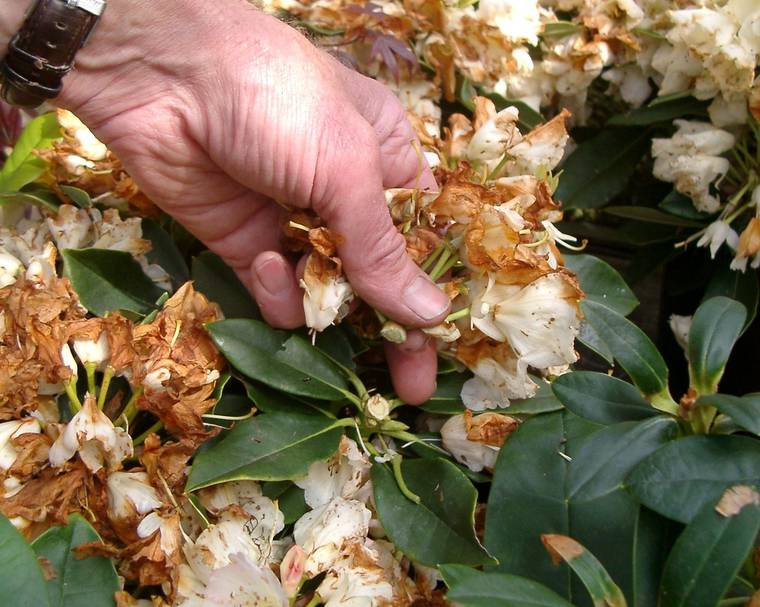 a hand snapping off dead rhododendron blooms