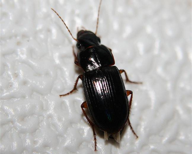 A ground beetle on a wall