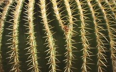 Plant of the week: Echinocactus grusonii 'Golden Barrel'