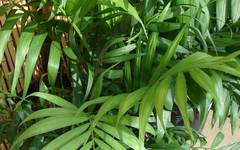 A photo of Parlour Palm