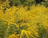 A photo of Solidago 'Golden Wings'