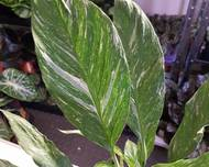A photo of Variegated Peace Lily