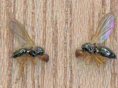 Two Psila rosae carrot fly on a wooden background