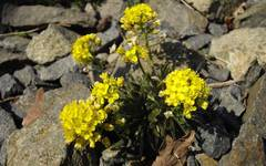 A photo of Draba
