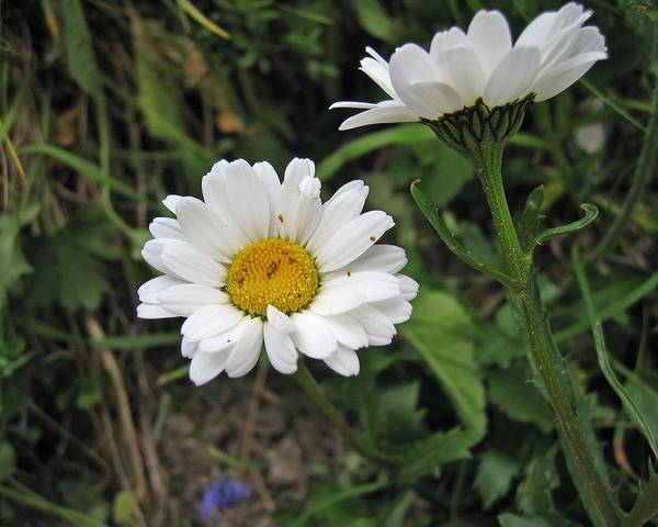 A picture of a Arctic Daisy