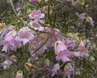 Eremophila sturtii flowers and branches, 2010
