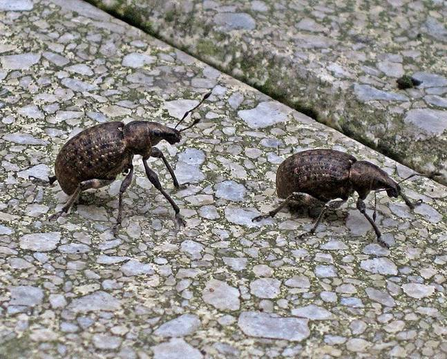 A close up picture of two black vine weevils Otiorhynchus sulcatus on the grey ground