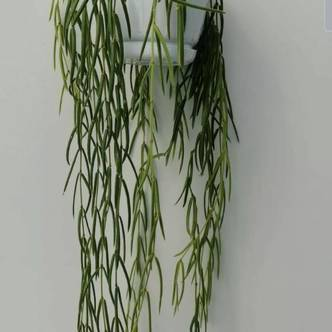 Hoya linearis Houseplant in a 14cm Hanging Pot. Wax Plant, Porcelain Flower