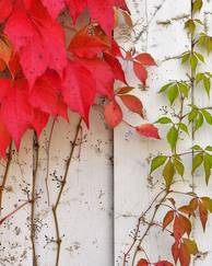 A photo of Virginia Creeper