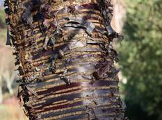 A close up of a Prunus rufa tree trunk with attractive peeling bark