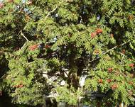 A photo of Showy mountain ash