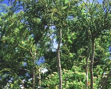 A picture of a Alerce cypress