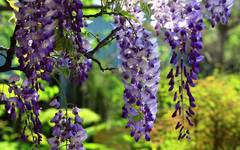 A photo of Wisteria