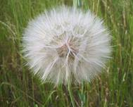 A photo of Dandelion
