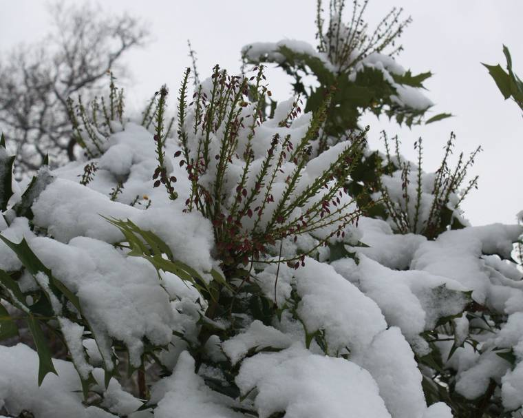Mahonia x media 'Lionel Fortescue' in snow