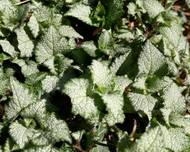 A photo of Deadnettle 'Beacon Silver'