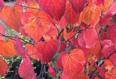 Cercis Forest Pansy red autumn leaf colours