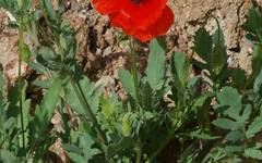 A photo of Common Poppy