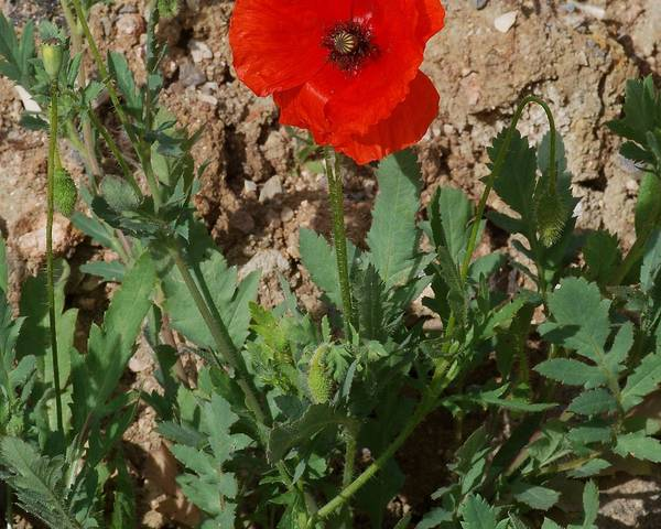 A picture of a Common Poppy